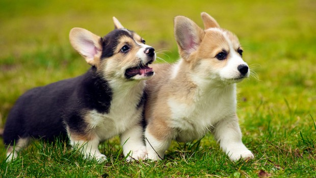 "Microsoft demonstrated its machine learning system ""Project Adam"" by looking at photos of corgis and determining which of two breeds the photo depicted."