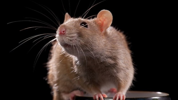 The City of Chicago is exploring using big data to combat its rat problem.