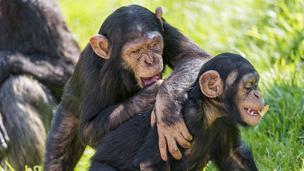 Researchers have released a large data set of chimpanzee vocalizations.