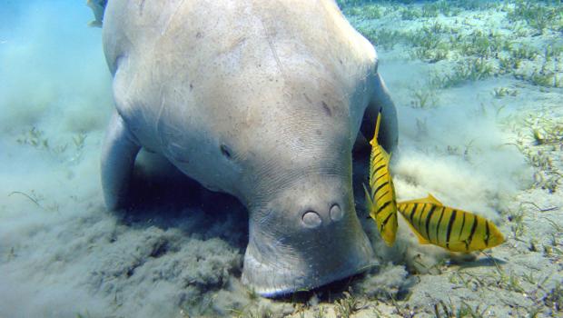 A dugong